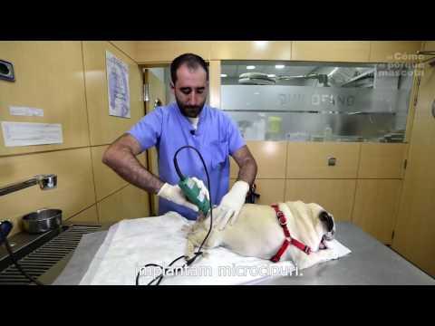 tratamentul articulațiilor pugs artrita artroso a tratamentului articulației genunchiului