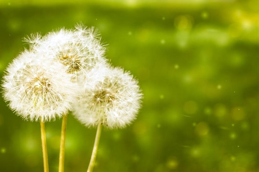 Tinctura de flori de păpădie pentru dureri articulare