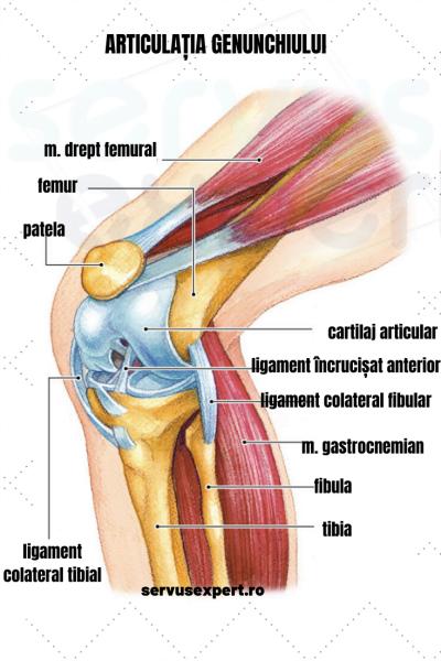 articulația secțională a genunchiului