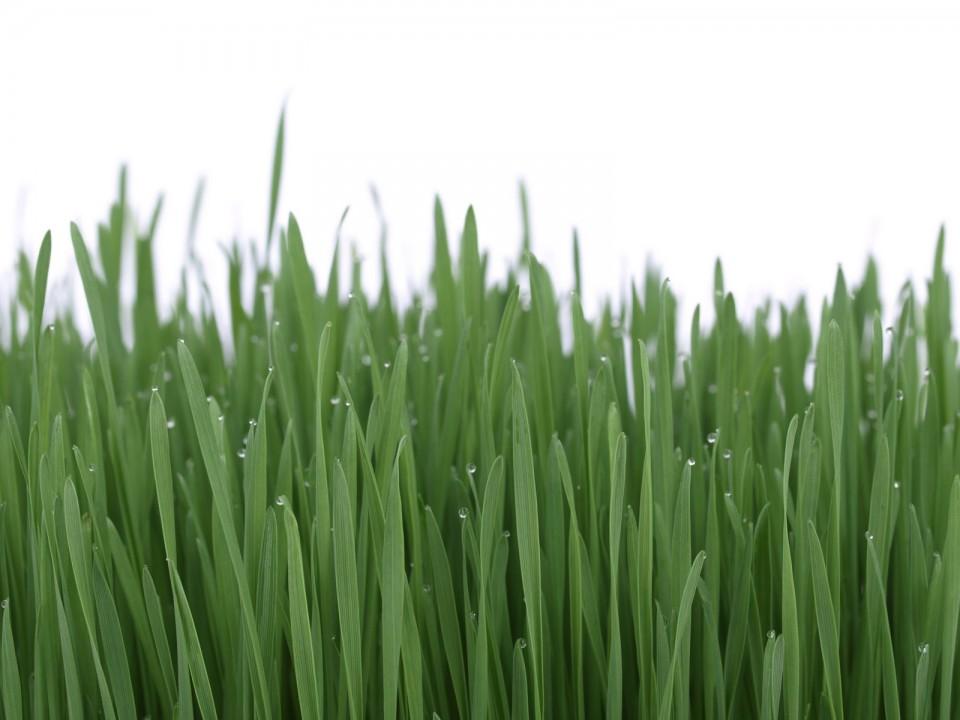 tratamentul articulațiilor cu iarbă de grâu