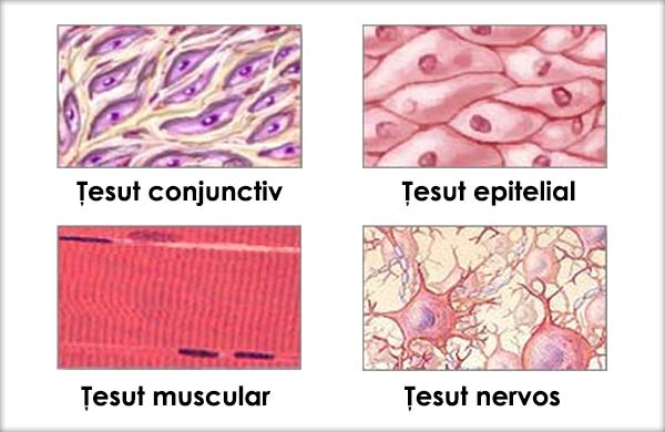 Osul țesutului conjunctiv și țesutul cartilaginos efectuează