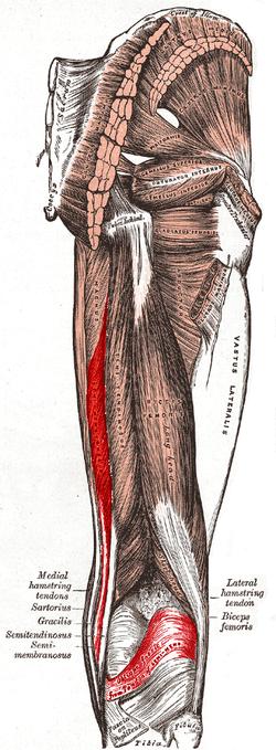 mușchi semi-membranos al tratamentului articulației genunchiului
