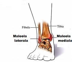 hellebore Tratamentul articular caucazian ce să faci dacă articulația cotului doare tratamentul
