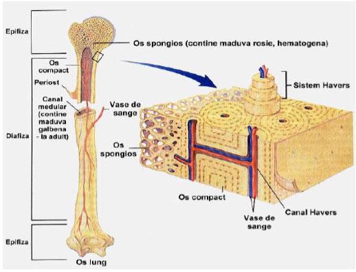 osul țesutului conjunctiv și țesutul cartilaginos efectuează osteoartroza tratamentului articulației umărului