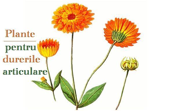 plantă pentru dureri articulare articulațiile umerilor și gâtului