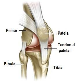 articulațiile genunchiului uman