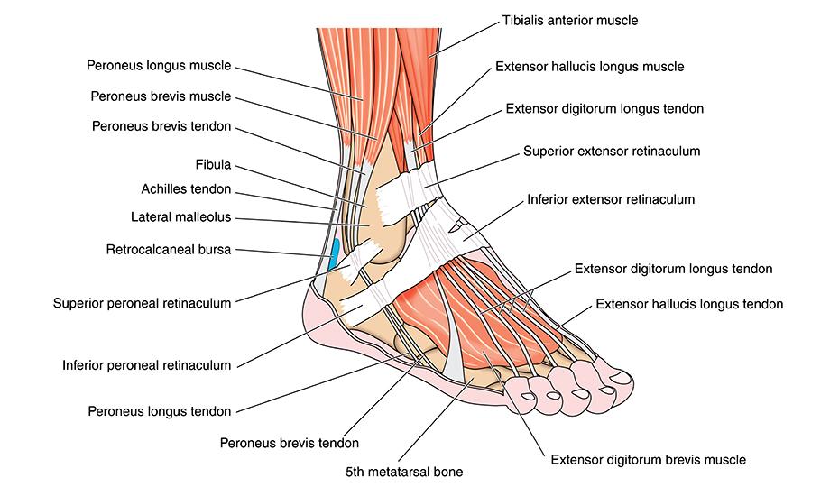 Instabilitatea ligamentelor piciorului și gleznei | Ottobock RO